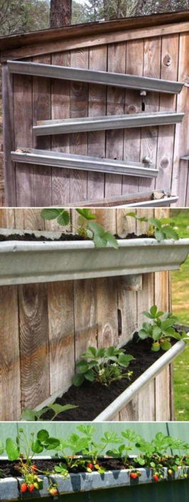 Rain Gutter Strawberries on Fence